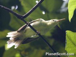 Image of Tahiti Reed Warbler
