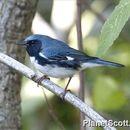 Image of Black-throated Blue Warbler