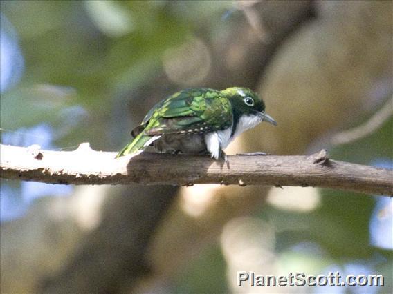 Image of Klaas's Cuckoo