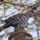 Image of Speckled Pigeon