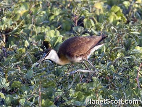 Image of African Jacana