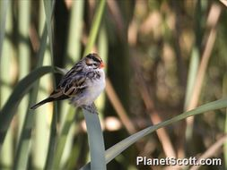 Image of Pin-tailed Whydah