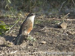 Image of White-browed Coucal
