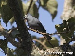 Image of Gray Cuckooshrike