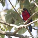 Image of Double-toothed Barbet