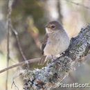 Image of Dusky-brown Flycatcher