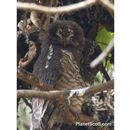 Image of African Wood-Owl