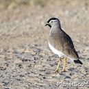 Image of Spot-breasted Lapwing