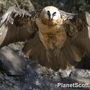 Image of Bearded vulture