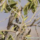 Image of Cardinal Woodpecker