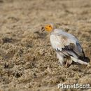 Image of Egyptian vulture
