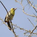 Image of Yellow-breasted Barbet