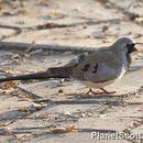Image of Namaqua Dove
