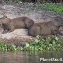Image of Capybaras