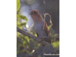 Image of Little Cuckoo