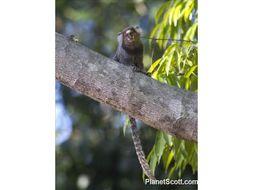 Image of Weid's Black-tufted-ear Marmoset