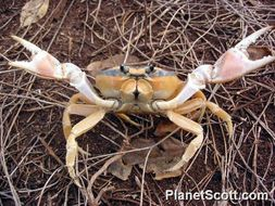 Image of Mexican Land Crab