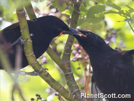 Image of North Island Saddleback