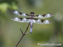 Image of Twelve-spotted Skimmer