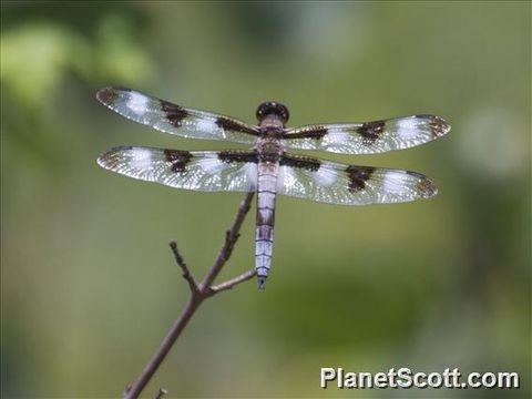 Image of Twelve-spotted Skimmer