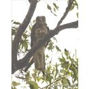 Image of Brown falcon