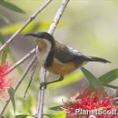 Image of Eastern Spinebill