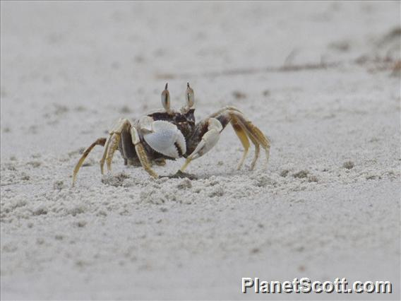 Image of Horned Ghost Crab