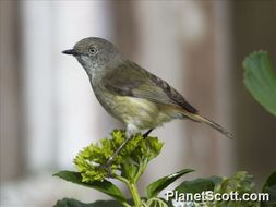 Image of Mountain Thornbill