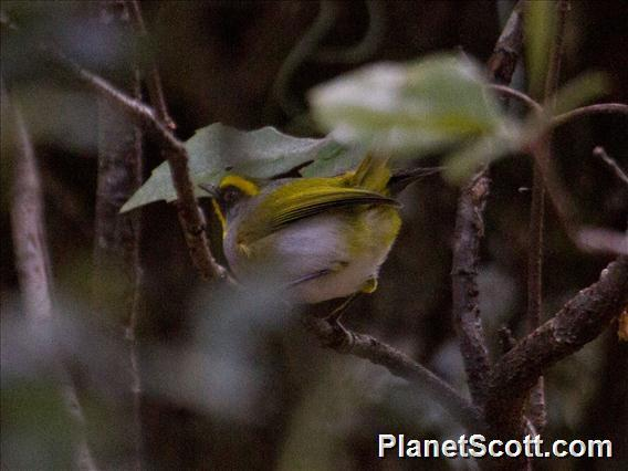 Image of Black-faced Warbler
