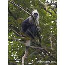 Image of White-headed Langur