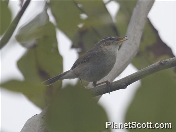 Image of Oriental Reed Warbler