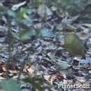 Image of Bar-bellied Pitta