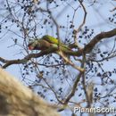 Image of Moustached Parakeet