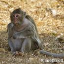 Image of Long-tailed Macaque