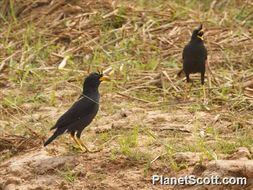 Image of Great Myna