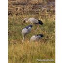 Image of Asian Openbill