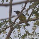 Image of Brown-throated sunbird