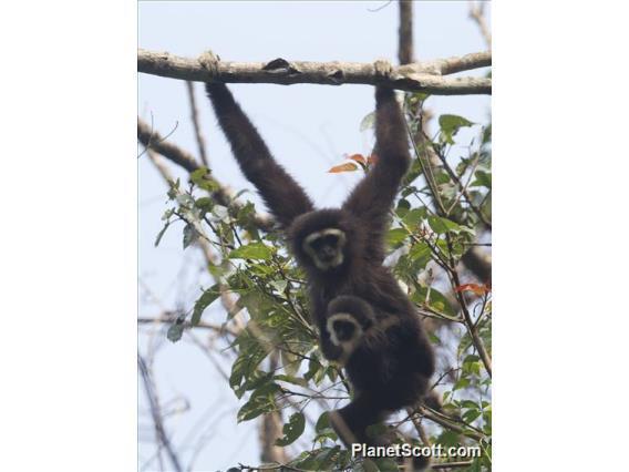 Image of White-handed Gibbon