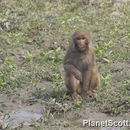 Image of Assam Macaque