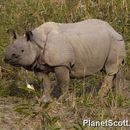 Image of Indian Rhinoceros