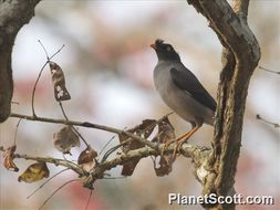 Image of Jungle Myna