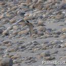 Image of River Tern