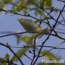 Image of Greenish Warbler