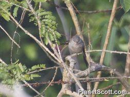 Image of Large Cuckoo-shrike