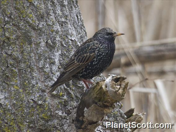 Image of Common Starling