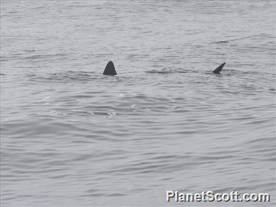 Image of Salmon Shark