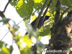 Image of Purple-throated Cuckooshrike