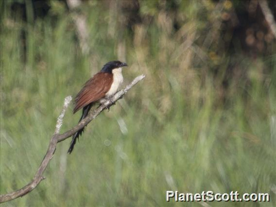Image of Blue-headed Coucal