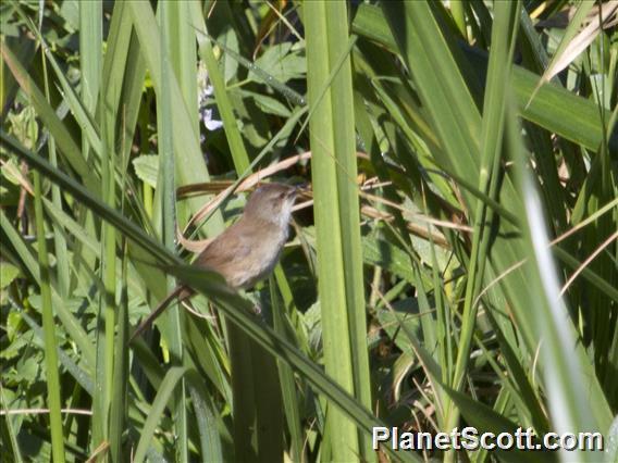 Image of Lesser Swamp-Warbler