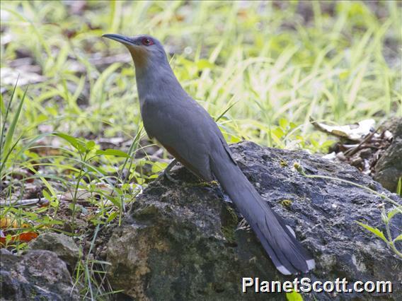 Image of Hispaniolan Lizard-Cuckoo